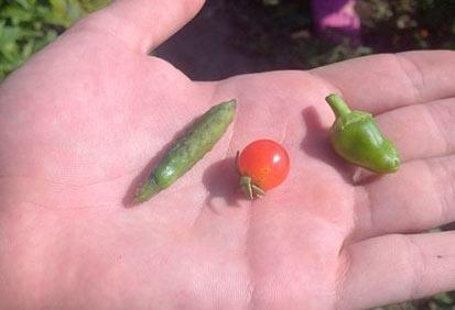 迷你西红柿、黄瓜、辣椒