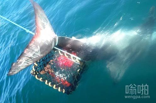 来抓虾,结果抓到大白鲨