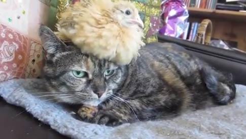 猫的鸟帽子