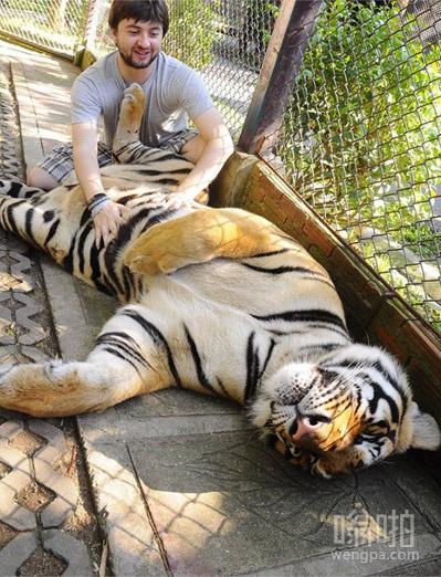 老虎需要抚摸