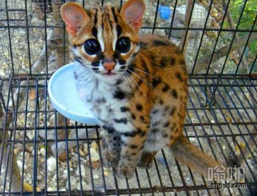 一个小小的豹猫?