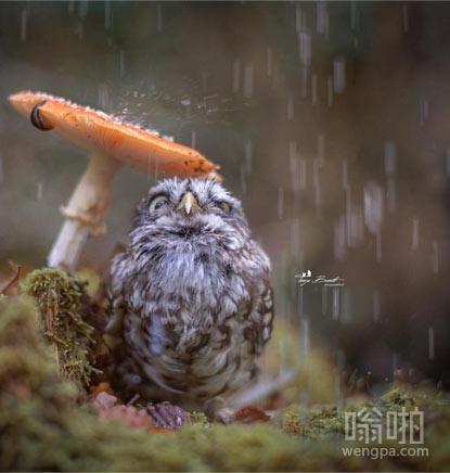 可爱小猫头鹰躲雨:这伞有点小呀