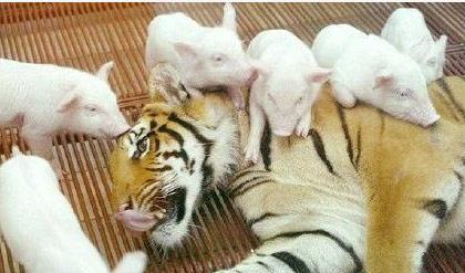 小猪围攻老虎