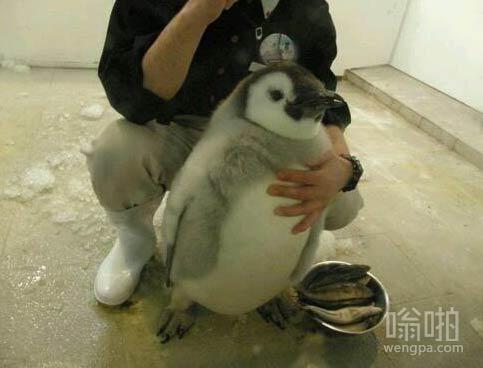 胖乎乎可爱的企鹅