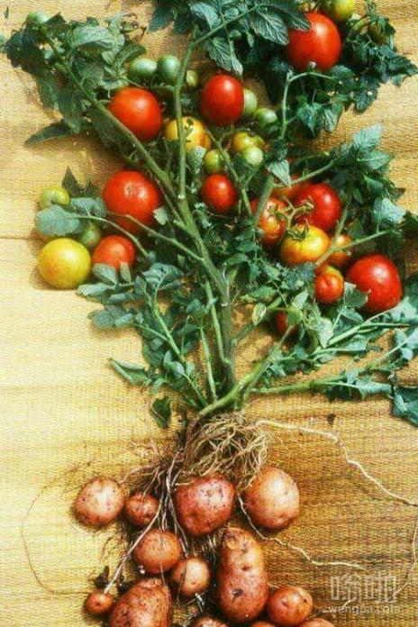 土豆和番茄合并了