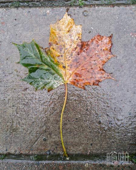 均匀三色的叶子