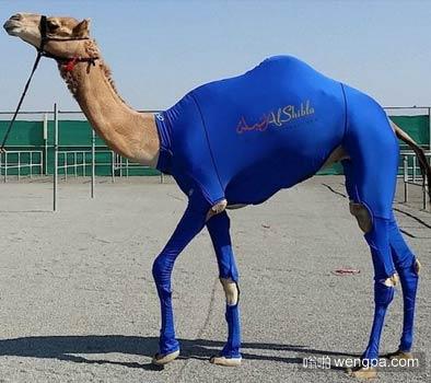 骆驼穿紧身运动衫