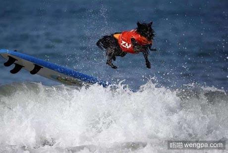 狗狗搞笑图片 狗狗冲浪 吓死本汪了