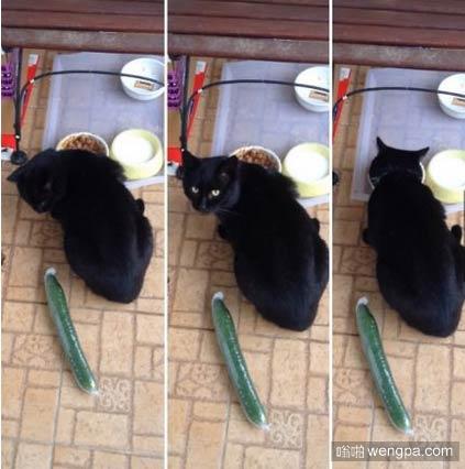 猫怕黄瓜 错了!并不是所有的猫都怕黄瓜