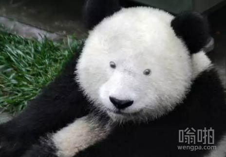 如果去掉熊猫的黑眼圈