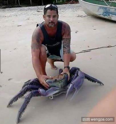 紫色大屁股螃蟹在波多黎各