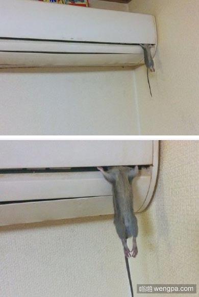 岛国的一位网友发现自己家的空调抓住了一只老鼠……