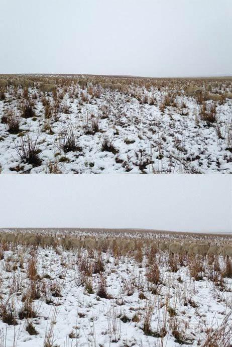 一场大雪 自家的500只羊不见了