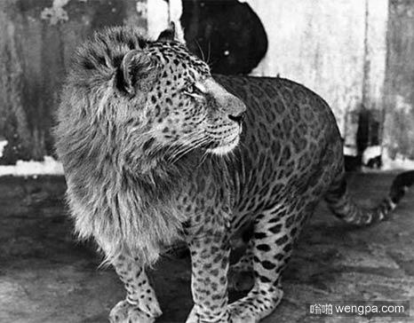 豹狮 雄豹和母狮交配的产物 这样的组合几乎不会出现在野外