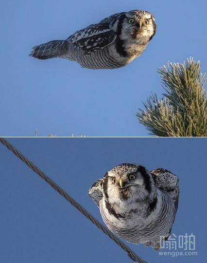 猫头鹰飞过 你看到什么如此惊讶
