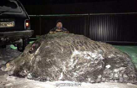 半吨重巨型野猪  俄罗斯猎人打死超半吨重巨型野猪