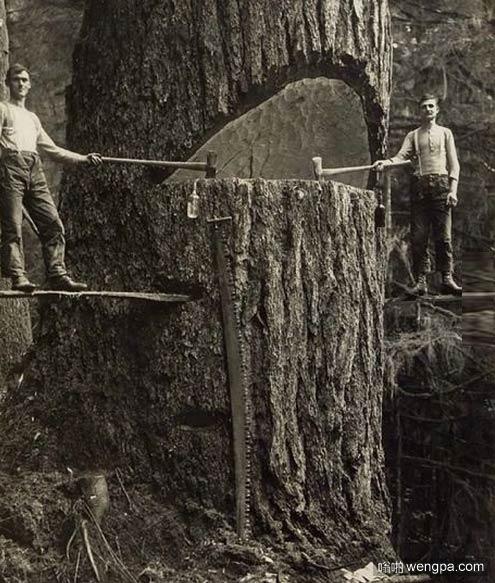20世纪初两个伐木工在砍伐一棵大树