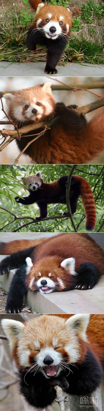 我们需要一些小熊猫为世界加油欢呼