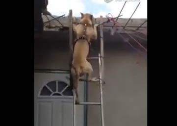 狗下梯子 视频实拍一只会下梯子的狗