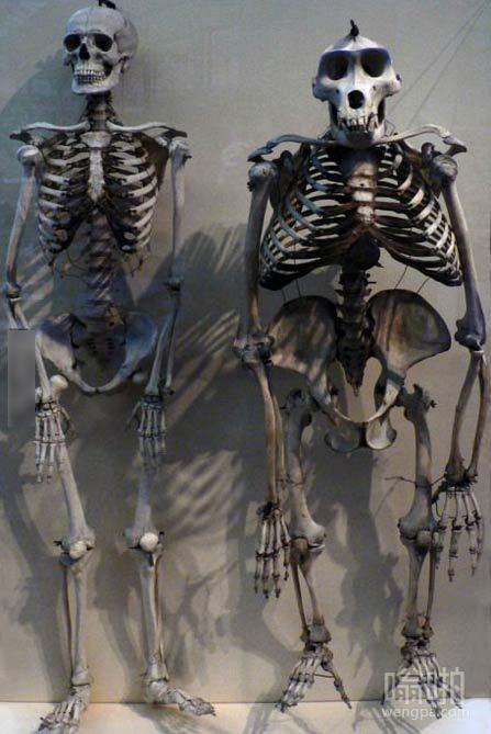 大猩猩的骨架和人类的骨架相比