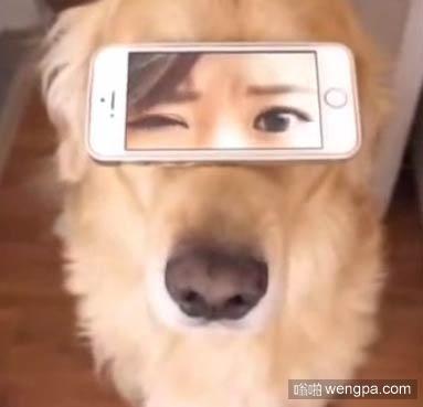 逗逼主人用手机给金毛配了一对美女眼睛,竟然毫无违和感。。。求金毛的心理阴影面积
