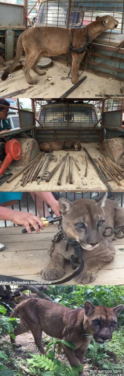 马戏团感人黑豹 20年来在秘鲁马戏团 现在自由了