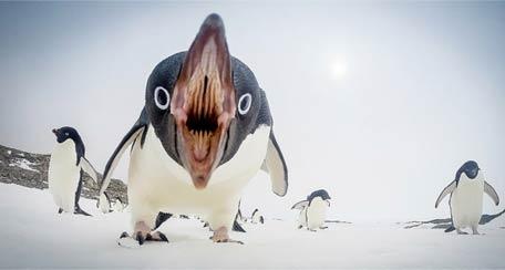 萌宠动物 我猜这企鹅来自地狱
