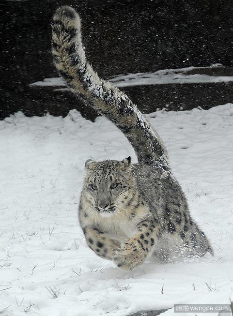 雪豹 多么宏伟的生物