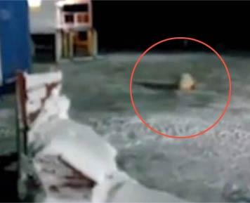 熊被喂食炸弹 厨师戏弄北极熊将一颗炸弹丢给它