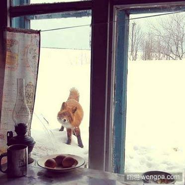 这狐狸盯着桌上的鸡蛋看了半天