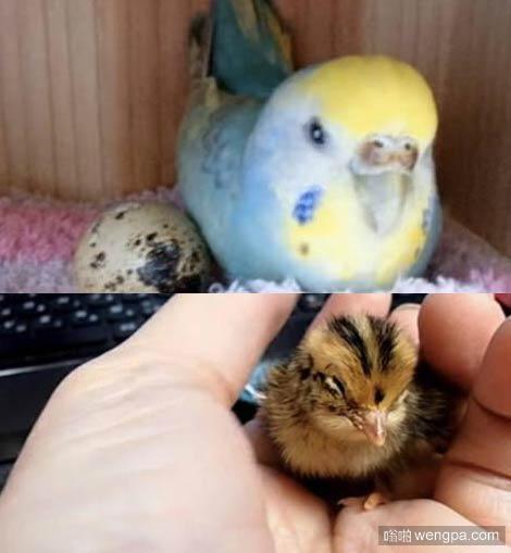 """从超市买回鹌鹑蛋 没想到家里的鹦鹉把它""""孵化""""出小鹌鹑"""
