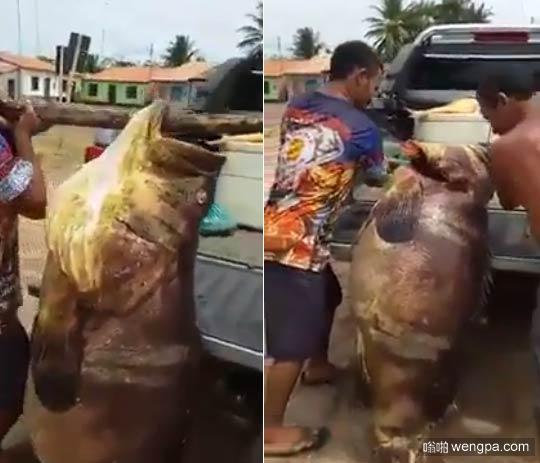 渔民在巴西抓到巨型怪物鱼