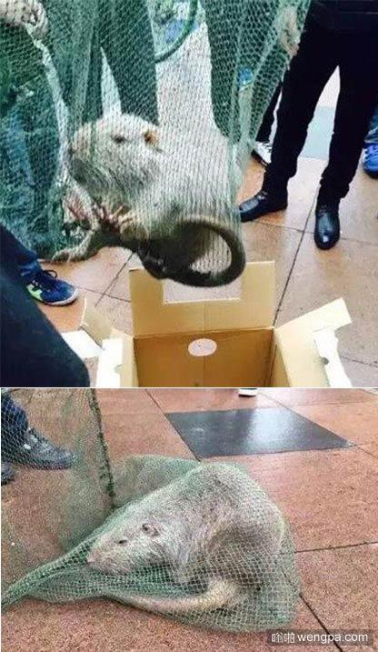 """大学校内现10斤重""""巨鼠"""" 实为海狸鼠"""