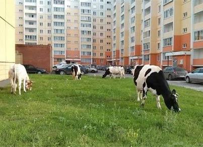 奶牛享用小区草坪