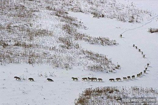 狼群战队如何转移