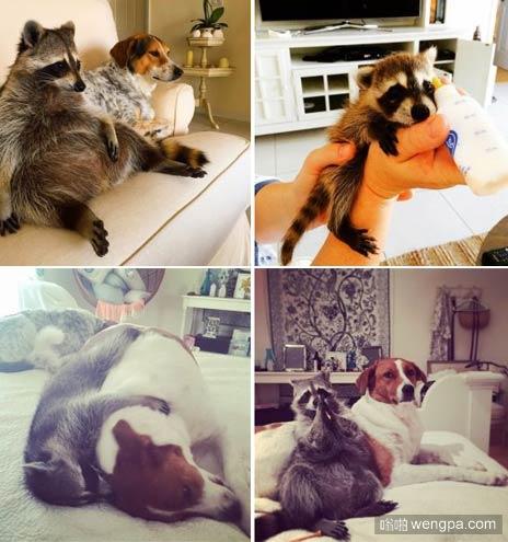 浣熊孤儿 好心人救起一个浣熊宝宝,现在它庇护的家庭认为,它也是一只狗狗