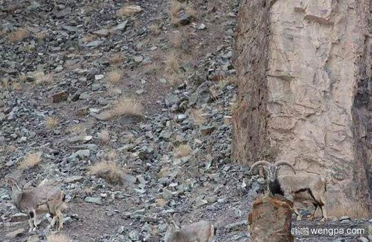 能5秒找到照片中的雪豹吗