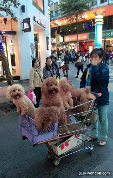 家里养了很多泰迪的人是怎样逛街的_狗狗搞笑图片