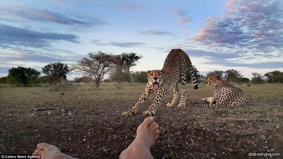 猎豹舔摄影师脚趾!