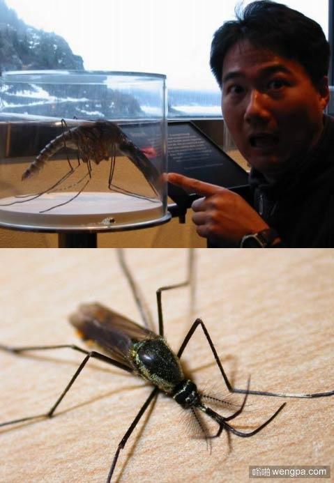世界上最大的蚊子 跟龙虾一般大