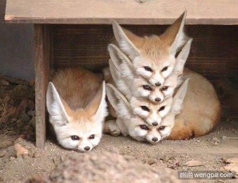 这狐狸归置的很好 - 嗡啪萌宠动物