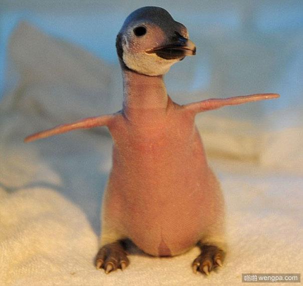 动物们的毛掉光后变得不再那么可爱(5)企鹅