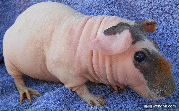 动物们的毛掉光后变得不再那么可爱(6)豚鼠