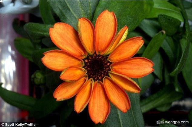 太空菊花:美国宇航员在空间站培育出第一株菊花