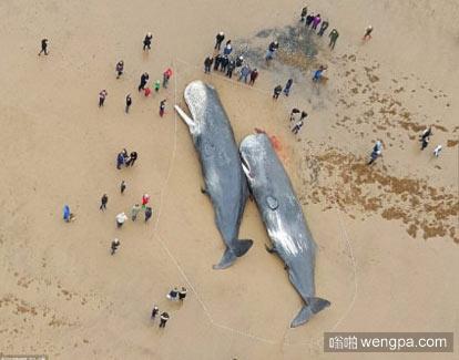 上周末两个巨大的抹香鲸冲上了英国的海滩