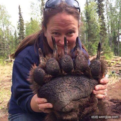 一个灰熊的爪子。看看这个爪子有…多…大…!