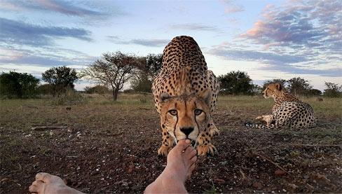 猎豹舔摄影师脚趾!非洲禁猎区摄影师遭野生猎豹舔脚(组图)