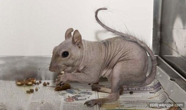 动物们的毛掉光后变得不再那么可爱(7)松鼠