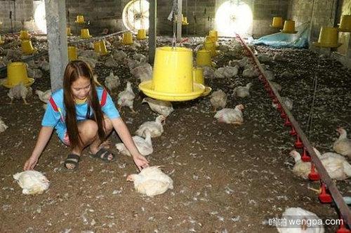 直升机降落吓死鸡 【视频】直升机养鸡场降落吓死2000只鸡