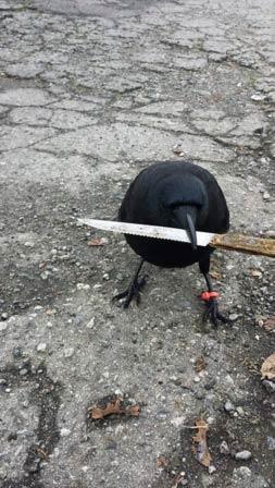 我的乌鸦邻居比你更强硬